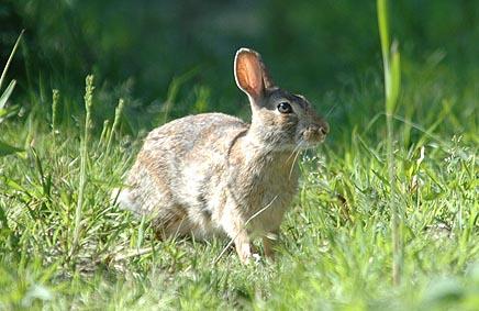Allarme conigli selvatici in pianura varese7press - Foto di animali dell oceano ...