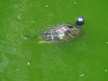 Salvi i cigni dei giardini estensi per ci vuole maggiore for Pulizia fondo laghetto