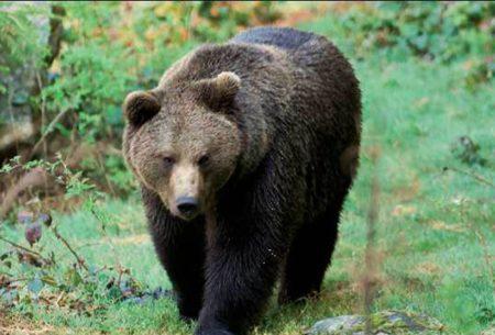 Gli orsi sempre più numerosi sulle Alpi svizzere