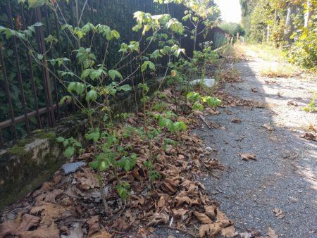 Piante crescono sui marciapiedi di viale Toscana